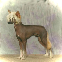 N'co Chinese Cresteds Chinese Crested...